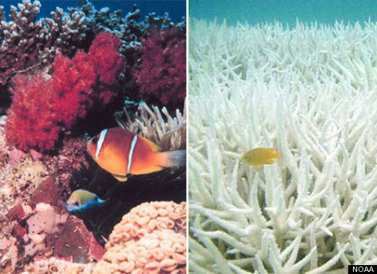 Toxic filthy coral (left) and coral after it's been washed by the new coral cleaners (right) SOURCE:  Hancock Prospecting Annual Report
